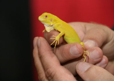 exotic lizards for sale